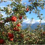 【新月ポイント5倍】今が旬!低農薬・無化学肥料のりんご メルマガNo.418